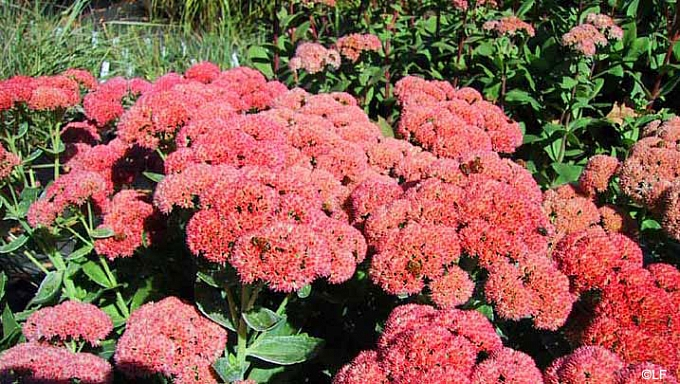 Садовые осенние цветы многолетники с