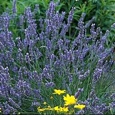 Lavandula x intermedia 'Grosso' lavender