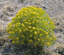 Ericameria nauseosa v. speciosa  showy rabbitbrush
