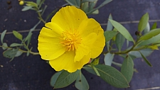 Dendromecon harfordii  island bush poppy