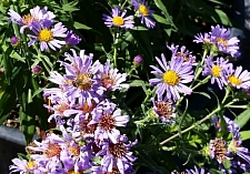 Aster (Symphyotrichum) chilensis 'Purple Haze' California aster