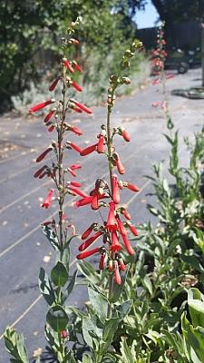 Penstemon centranthifolius  scarlet buglar