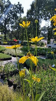 Rudbeckia nitida 'Herbstsonne' coneflower
