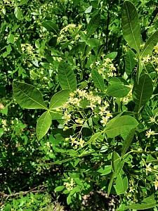 Ptelea crenulata  California hoptree