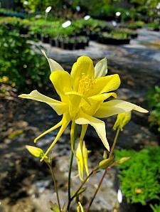 Aquilegia chrysantha  golden columbine