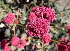 Eriogonum grande var. rubescens  red buckwheat