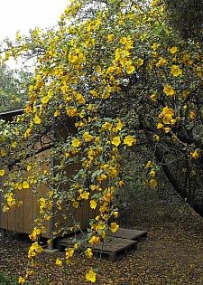 Fremontodendron  'San Gabriel' flannel bush