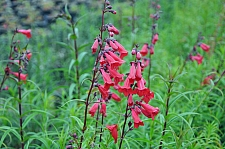 Penstemon  'Firebird' penstemon