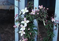 Clematis montana 'Rubens' anemone clematis