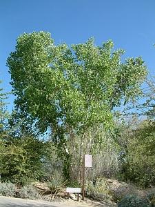 Populus fremontii  Fremont's cottonwood