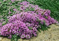Thymus pseudolanuginosus  woolly thyme