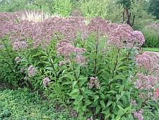 Eupatorium maculatum 'Gateway' Joe Pye weed