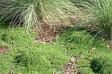 Thymus serpyllum 'Elfin' creeping thyme