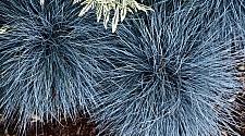 Festuca  'Beyond Blue' blue fescue