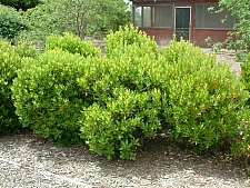 Arbutus  unedo 'Compacta' compact strawberry tree