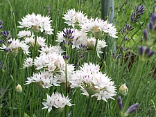 Allium amplectans 'Graceful Beauty' narrowleaf onion