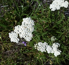 Achillea millefolium - inland form - Lake County seed source  yarrow