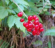Actaea rubra  baneberry