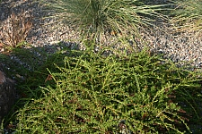 Adenostoma fasciculatum v. prostratum  prostrate chamise