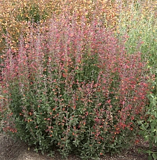 Agastache  'Coronado Red' hummingbird mint