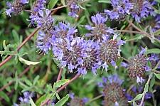 Salvia clevelandii 'Allen Chickering' sage