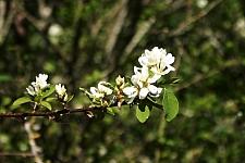 Amelanchier alnifolia  serviceberry