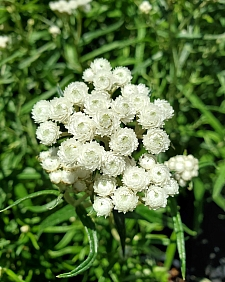 Anaphalis margaritacea  pearly everlasting