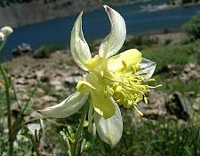 Aquilegia pubescens  Sierra columbine