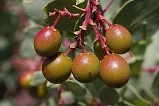 Arctostaphylos glauca  bigberry manzanita