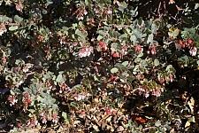 Arctostaphylos  'John Dourley' manzanita