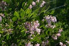 Arctostaphylos densiflora   Vine Hill manzanita