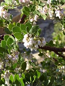 Arctostaphylos edmundsii 'Big Sur' Little Sur manzanita