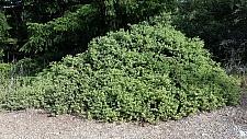 Arctostaphylos montana ssp. montana  Mount Tamalpais manzanita