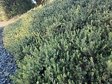 Arctostaphylos  'Pacific Mist' manzanita