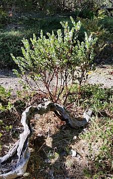 Arctostaphylos auriculata  Mount Diablo manzanita