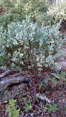 Arctostaphylos gabilanensis  Gabilan Mountains manzanita