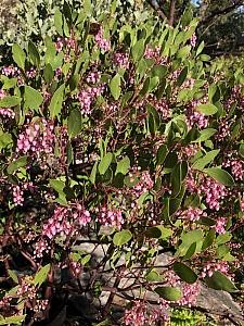 Arctostaphylos stanfordiana 'Sonoma' Stanford manzanita