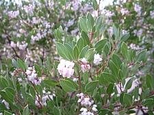 Arctostaphylos hookeri 'Wayside' Monterey manzanita