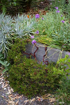 Arctostaphylos hookeri 'Monterey Carpet' Monterey manzanita