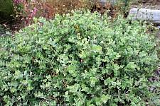 Arctostaphylos cruzensis  Arroyo de la Cruz manzanita