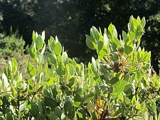 Arctostaphylos glandulosa  Eastwood manzanita