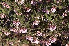 Arctostaphylos  'Sentinel' manzanita