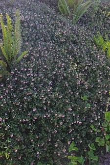 Arctostaphylos uva-ursi 'Radiant' bearberry