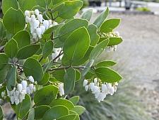 Arctostaphylos manzanita 'Dr. Hurd' common manzanita