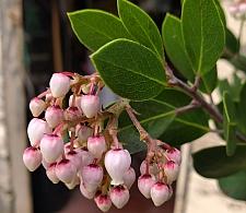 Arctostaphylos manzanita 'Mary's Blush' common manzanita