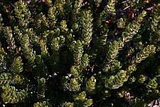 Arctostaphylos uva-ursi 'Point Reyes' Point Reyes bearberry