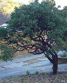 Arctostaphylos  'Sunset' manzanita