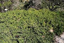 Arctostaphylos uva-ursi 'Green Supreme' bearberry