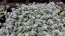 Artemisia pycnocephala 'Dr. Seuss' sandhill sage