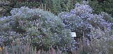 Aster (Symphyotrichum)  'Fanny's'